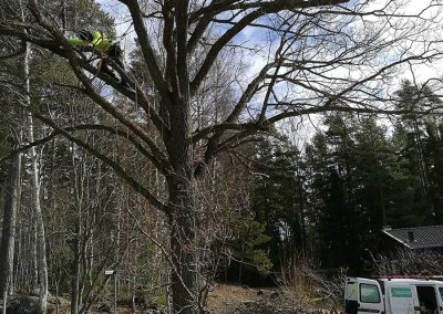 Urglesning och borttagning torra grenar i Ek